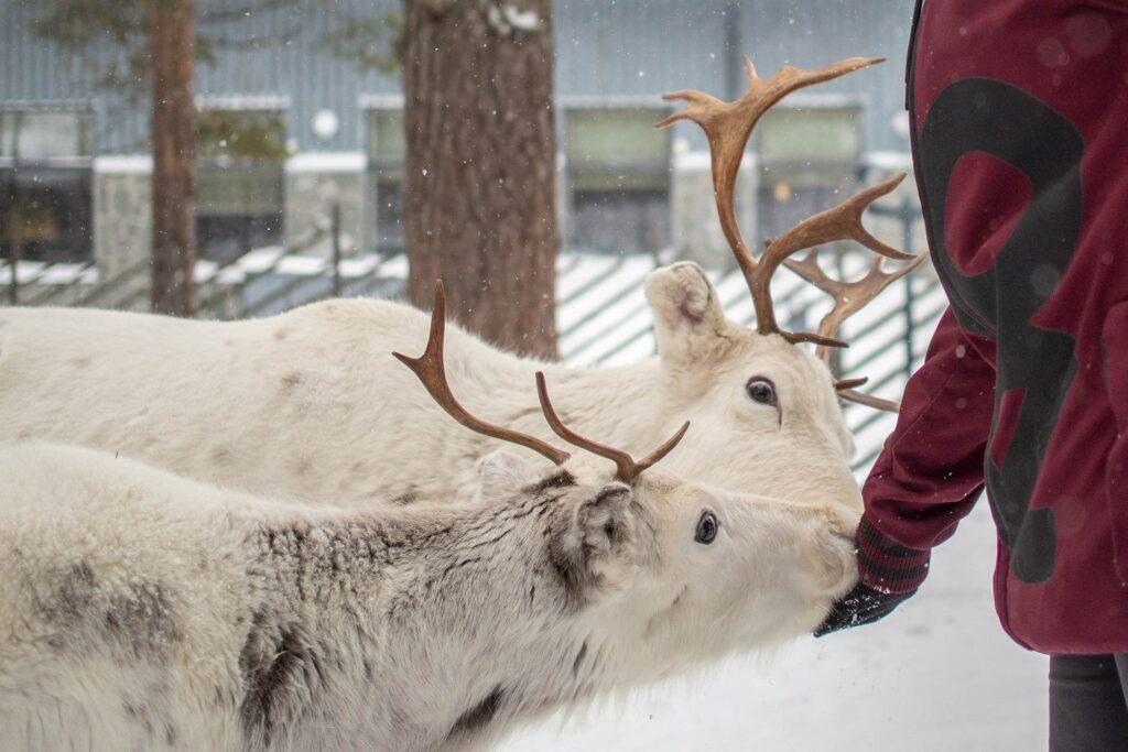 Hotel K5 Levin erityisyys on poroaitaus hotellin pihapiirissä, jossa on poroja talvisin.