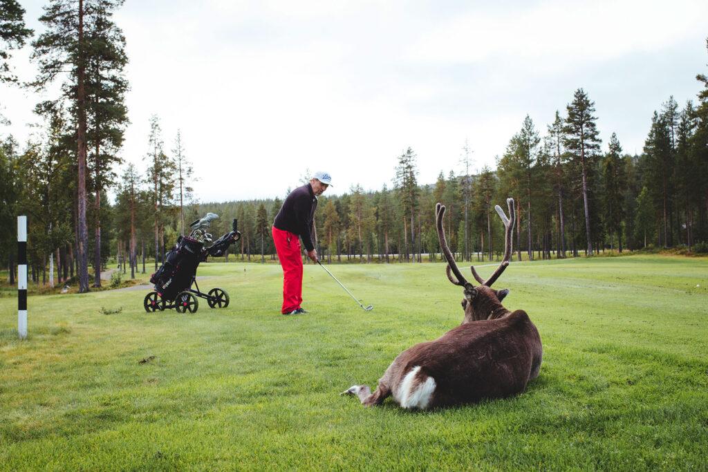 Golfaaja Levin golfkentällä, jossa tapaa usein myös poroja!
